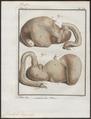 Dicotyles torquatus - ingewanden - 1700-1880 - Print - Iconographia Zoologica - Special Collections University of Amsterdam - UBA01 IZ21900223.tif