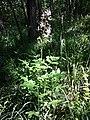 Dictamnus albus sl53.jpg