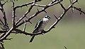 Diederik Cuckoo (Chrysococcyx caprius) (44730326070).jpg