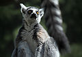 Different Ends of Different Lemurs (17985671938).jpg