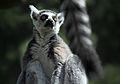 Different Ends of Different Lemurs (17985671938).jpg