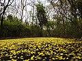 Dillenia pentagyna flowering by Dr. Raju Kasambe DSCN1362 (38).jpg