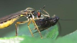 File:Dioctria linearis - 2013-07-21.webm