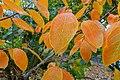 Diospyros virginiana × kaki 'Nikita's Gift' - Oregon Garden - Silverton, Oregon - DSC00168.jpg