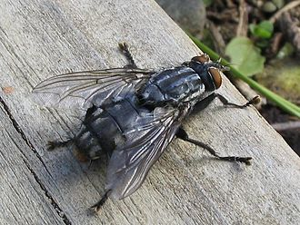 Hexapoda - A flesh-fly