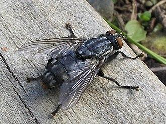 Hexapoda - A flesh-fly