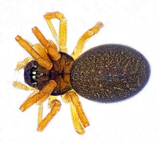 <i>Dismodicus</i> Genus of spiders