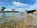 Dogs playing in the Rhine in Cologne, Germany (48987615538).jpg