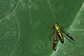 Dolichopodidae at Kadavoor.jpg