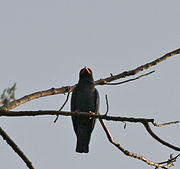 Dollarbird or Broad-billed Roller (Eurystomus orientalis) at Jayanti, Duars, West Bengal W Picture 059.jpg