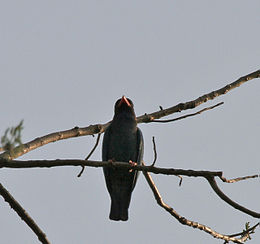 Dollarbird or Broad-billed Roller (Eurystomus orientalis) at Jayanti, Duars, West Bengal W Picture 059