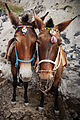 Donkeys of Santorini Mule Path, Fira, Santorini island (Thira), Greece.jpg