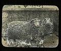 Dorset Horn Sheep (22615908910).jpg