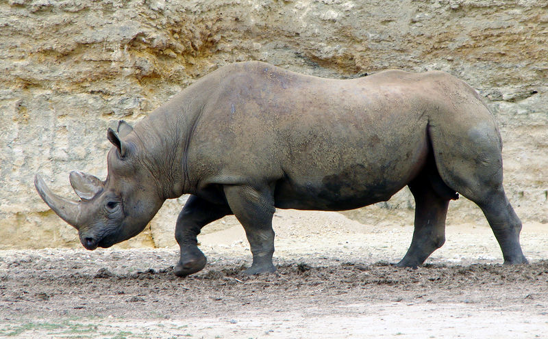 Black Rhinoceroses are an endangered species in need of protection.