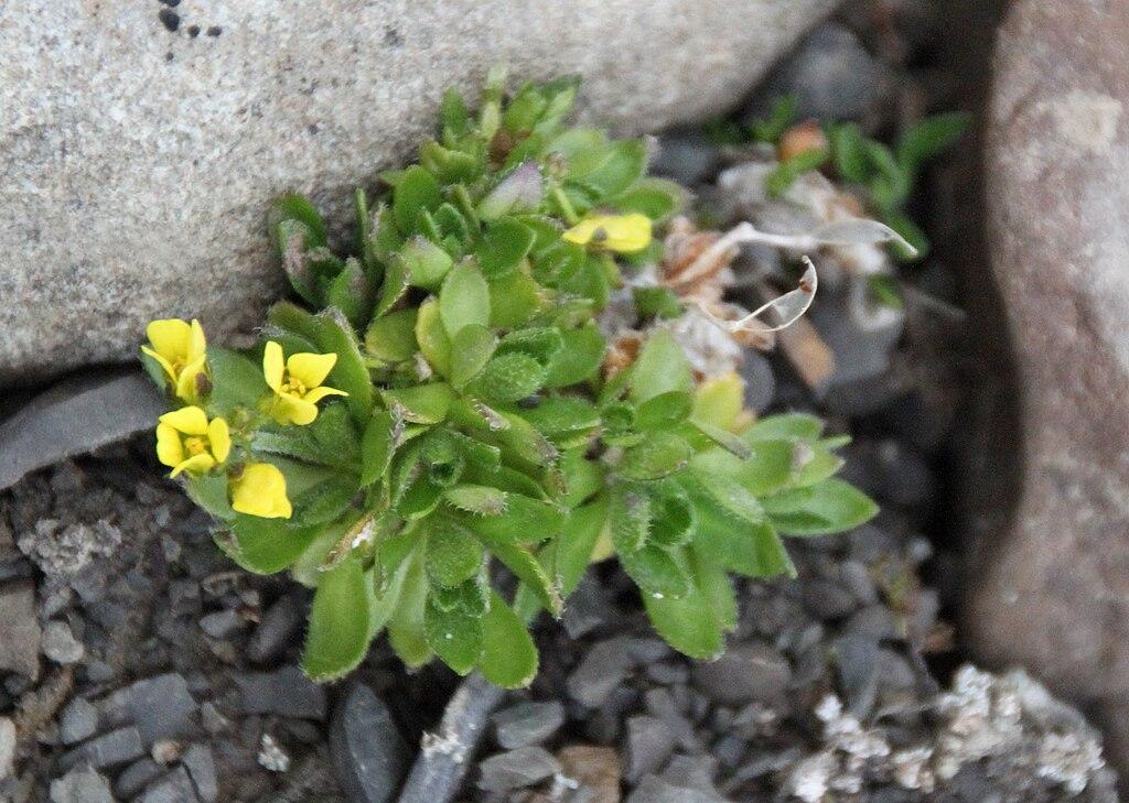 File:Draba alpina IMG 4116 gullrublom longyearbyen.jpg - Wikimedia ...