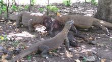 Resultado de imagen para Cómo los dragones de Komodo sobreviven a las mordeduras mortales de otros komodos