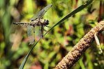 Dragonfly - SPB Sandy (14293511350).jpg