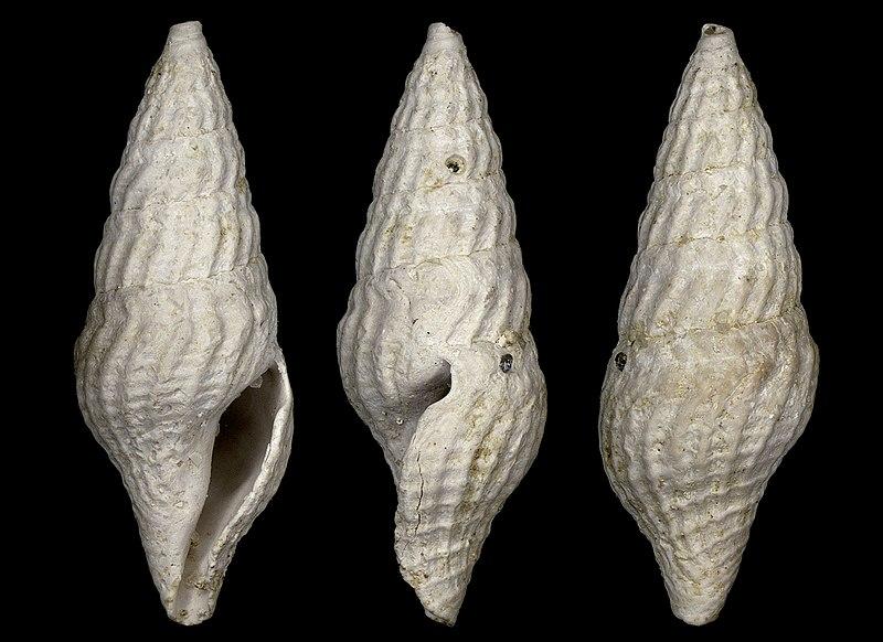 File:Drillia leptoides 001.jpg