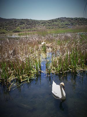 Mute swan - Nest in Drilon, Albania. The cob (male) is patrolling the area close to the nest to protect his mate.