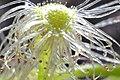 Drosera Tentacles (12282762415).jpg