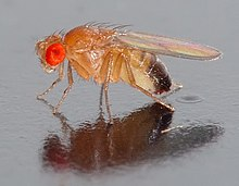 A fly resting on a reflective surface. A large, red eye faces the camera, the body appears transparent, apart from black pigment at the end of its abdomen.