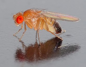 Invertebrate - The common fruit fly, Drosophila melanogaster, has been used extensively for research.