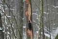 Dryocopus martius in the Teufelsbruch 2021-02-10 10.jpg