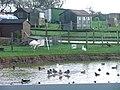 Duck Pond, With Rhea, Moor House Farm - geograph.org.uk - 77973.jpg