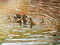 Duck and ducklings ripple pink reflections - geograph.org.uk - 1315125.jpg