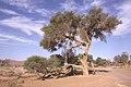 Dunst Namibia Oct 2002 slide138 - knorrig.jpg