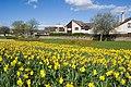 Dyce daffodils II - geograph.org.uk - 1247179.jpg