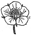 EB1911 Flower - corolla of Fragaria vesca.jpg
