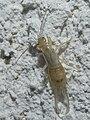 Earwig-larva.jpg