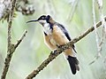Eastern Spinebill (31994871531).jpg