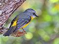 Eastern Yellow Robin (Eopsaltria australis) (21370667050).jpg