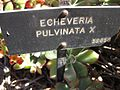 Echeveria pulvinata with sing2.jpg