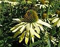 Echinacea purpurea 'Cleopatria' 01.jpg