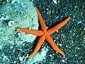 Echinaster sepositus Linosa 092.jpg