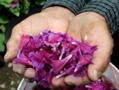 Echium Amoenum Flowers.png