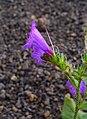 Echium lancerottense 02.JPG