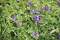 Echium plantagineum et Luzerne lupuline-3320.jpg