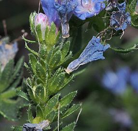 Echium salmanticum 20140822 g.jpg