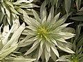 Echium webbii (Puntallana) 03.jpg