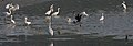 Egrets (Little & Great) & Cormorants (Indian) in Kolkata W IMG 4384.jpg