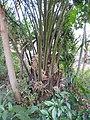 Elaeis guineensis-1-papanasam-tirunelveli-India.jpg