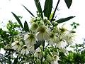 Elaeocarpus hainanensis 06.JPG