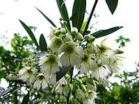 Elaeocarpus hainanensis 06