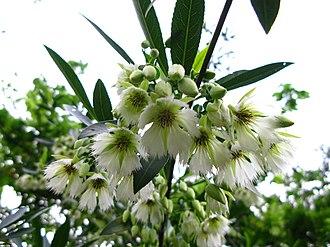Elaeocarpus - Elaeocarpus hainanensis flowers