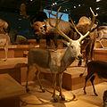 Elaphurus davidianus Stuffed specimen.jpg