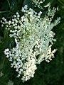 Elder flower - geograph.org.uk - 847301.jpg